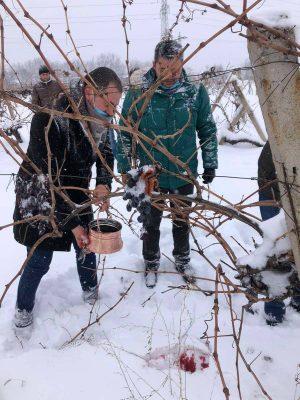 Кметове зарязаха ритуално лозите в столицата на виното - село Брестовица